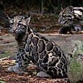 Sitting Clouded Leopard NashvilleZoo.jpg