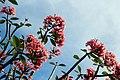 Sky-rose.jpg