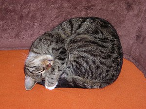 English: Sleeping Tabby Cat.