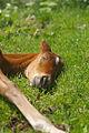 Sleeping horse 001.jpg