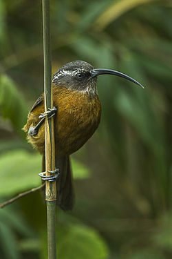 Slender-billed Scimitar-babbler.jpg