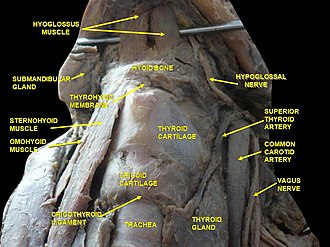 Thyrohyoid membrane - Image: Slide 2deded