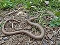 Slow Worm (Anguis fragilis) (14507459923).jpg