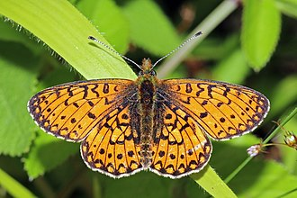 Small pearl-bordered fritillary - in Wyre Forest, Worcestershire