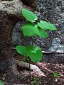 Smilax nipponica at Jirisan 02.JPG