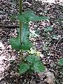 Smyrnium perfoliatum sl6.jpg