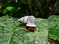 Snail (Schistoloma anostoma) (6771516169).jpg