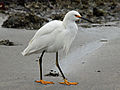 Snowy Egret HMB RWD.jpg