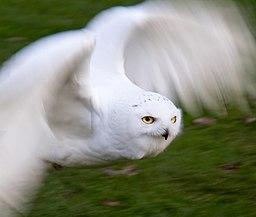 Snowy Owl in Flight 2 (6446947671)