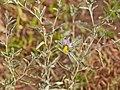 Solanaceae sp.-CTJ-IMG 6684.jpg