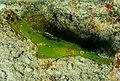 Solenostomus cyanopterus.jpg