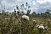 Sookail (Rhododendron tomentosum) Kaasikjärve rabas.JPG