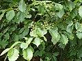 Sorbus alnifolia fruits 01.JPG