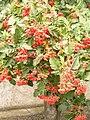 Sorbus intermedia 2014-08 (1).jpg