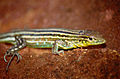 South American Whiptail (Cnemidophorus lemniscatus) female (10623676974).jpg