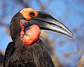 Southern Ground-hornbill (Bucorvus leadbeateri) -side upper body.jpg