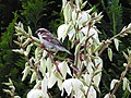 Sparrow on yucca (18890749313).jpg