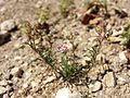 Spergularia rubra sl7.jpg