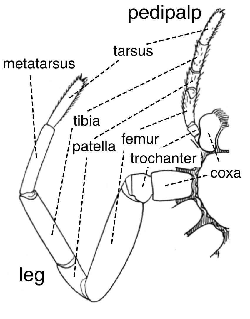 Spider external anatomy appendages en