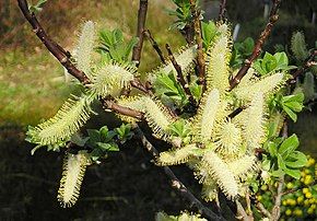 Description de l'image Spieß-Weide (Salix hastata).jpg.
