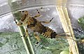 Spiny crawler mayfly, Ephemerella subvaria (20769269671).jpg