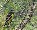 Spot-winged Grosbeak.JPG