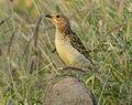 Spotted Bowerbird cropped.jpg