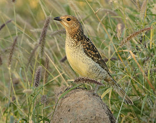 Spotted bowerbird Species of bird