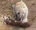 Spotted hyena grooming cub.jpg