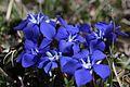 Spring Gentian - Gentiana verna - panoramio (9).jpg