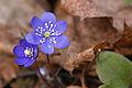 Spring scene with Liverleaf (6857703708).jpg