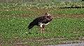 Spur-winged Goose (Plectropterus gambensis) (32673114088).jpg