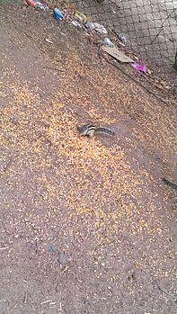 Squirrel eat.jpg