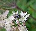 Stable Fly. Stomoxys calcitrans ? (39559207741).jpg