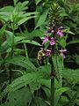 Stachys tenuifolia - Hedge Nettle.jpg