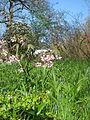 Staphylea holocarpa rosea (16630744384).jpg
