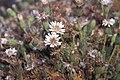 Starr-000502-1317-Tetramolopium humile subsp haleakalae-habit-HNP-Maui (23900565834).jpg