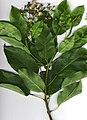 Starr-010227-8001-Catalpa longissima-branch-Waikapu Rd-Maui (23904422033).jpg