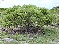 Starr-010520-0073-Tournefortia argentea-habit-Near coast-Kure Atoll (24532760195).jpg