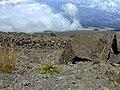 Starr-021024-0035-Plantago lanceolata-habit-Kalahaku HNP-Maui (24470735951).jpg