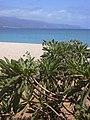 Starr-030525-0017-Tournefortia argentea-habit-Kanaha Beach-Maui (24006728344).jpg