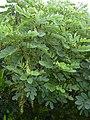 Starr-040331-0057-Senna gaudichaudii-leaves and pods-Kanaio-Maui (24404871370).jpg