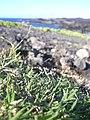 Starr-040331-0255-Cynodon dactylon-habit-Kanaio-Maui (24582812352).jpg