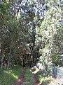 Starr-040812-0045-Eucalyptus sp-habit-Kauhikoa hill-Maui (24715327905).jpg