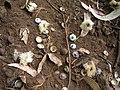 Starr-051123-5464-Eucalyptus globulus-flowers and caps-Haleakala Ranch-Maui (24822852896).jpg