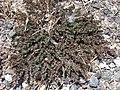 Starr-080531-4832-Euphorbia prostrata-fruiting habit-Bravo barracks Sand Island-Midway Atoll (24817464431).jpg