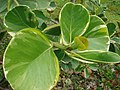 Starr-090430-7135-Clusia rosea-variegated leaves-Enchanting Floral Gardens of Kula-Maui (24327075803).jpg