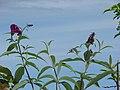 Starr-090520-8150-Buddleja davidii-flowers and leaves-Keokea-Maui (24588234389).jpg