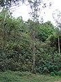 Starr-090601-8696-Montanoa hibiscifolia-hillside-Ulupalakua-Maui (24934636356).jpg