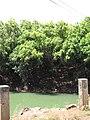 Starr-090616-0700-Syzygium cumini-habit by reservoir-Hamakuapoko Paia-Maui (24596749909).jpg